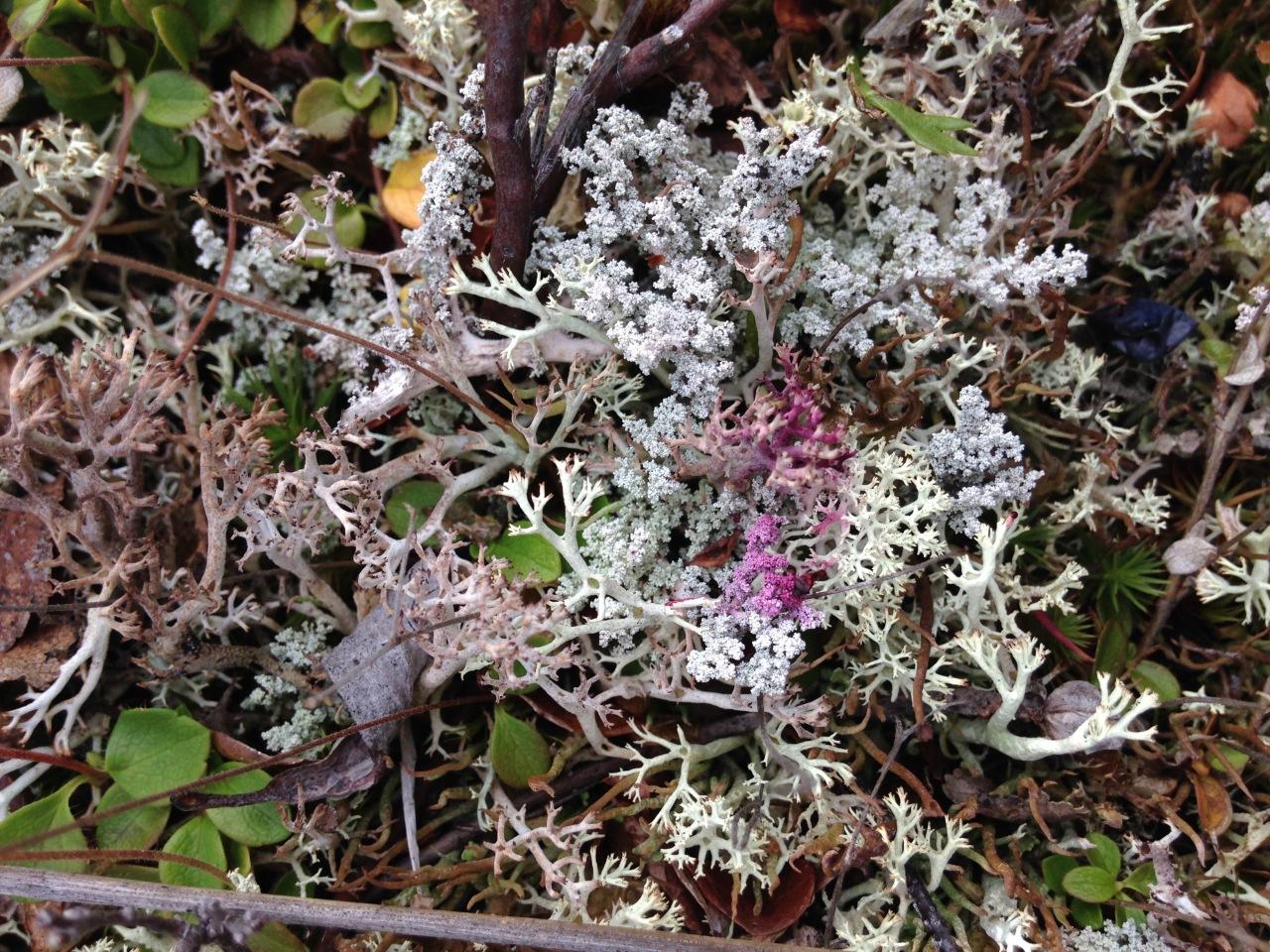 blueberry stained lichen